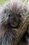 New World Porcupine