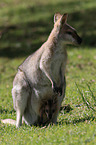 Red-necked wallaby with cub